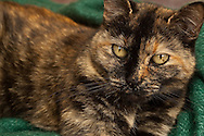 Calico cat,  tortoise shell<br />