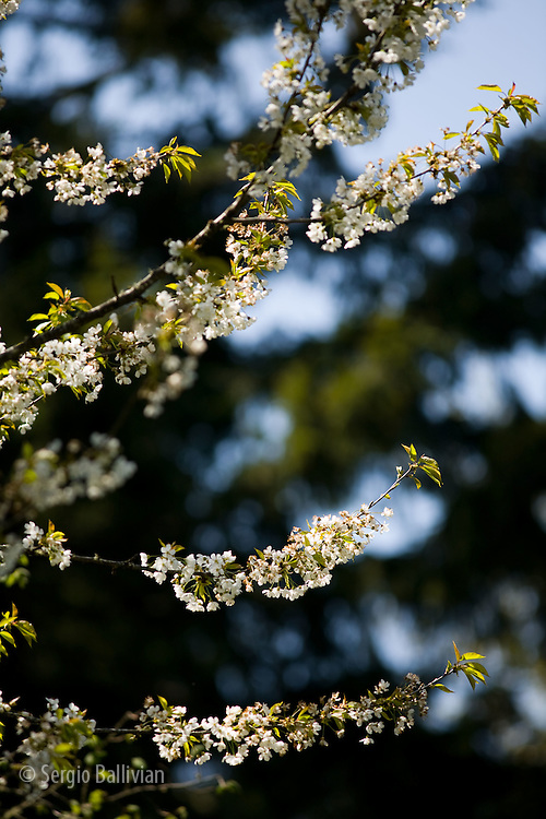 Close-up of spring blossoms in the Willamette Valley of Oregon