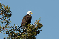 A mature Bald Eagle watches over the Madison River in the state of Montana spotting fish from a pine tree.