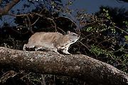 Rock Hyrax (Procavia capensis) traversing a tree limb at dawn in Matobo National Park, Zimbabwe.