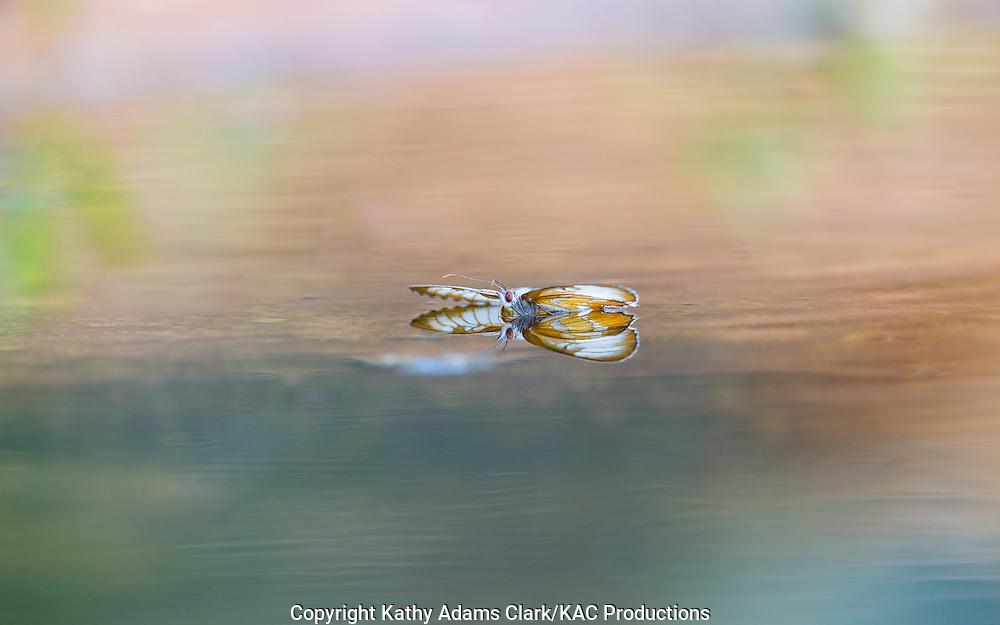 Common mestra, Mestra amymone, floating on water, San Jose Ranch, near Laredo, Texas.