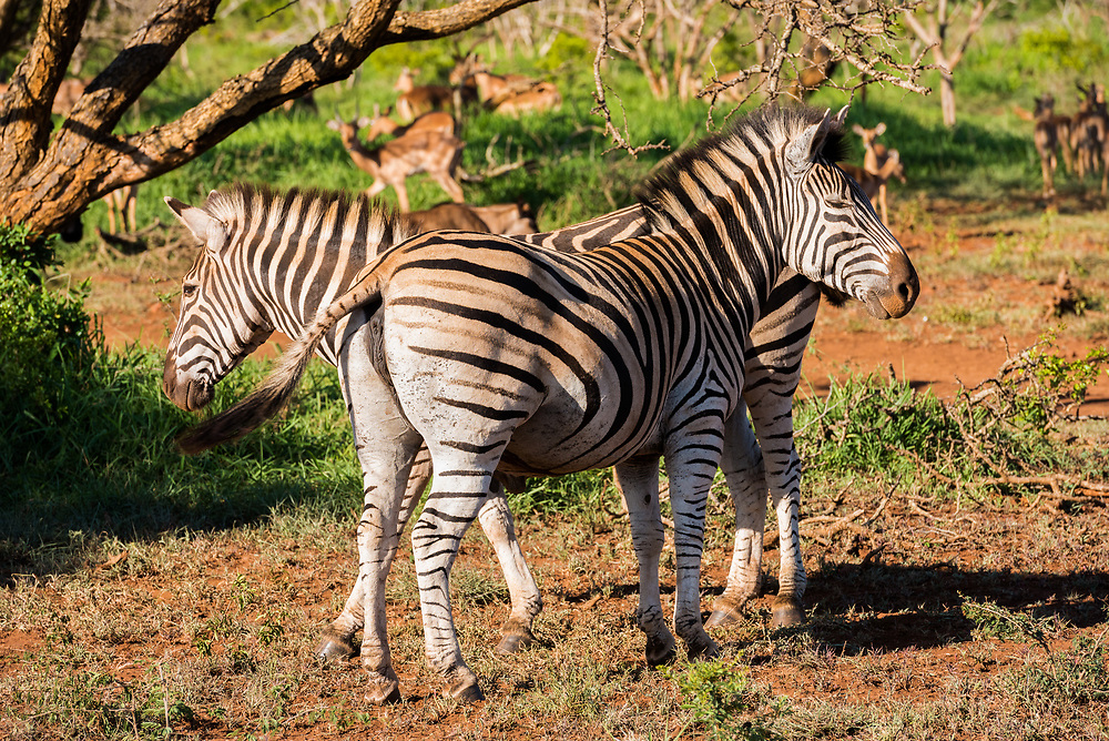 A pair of African Zebras in the bush.
