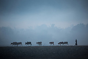 Procession of cows with herder in fog, Mrauk U
