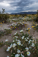 DSC_1234<br /> <br /> Anza-Borrego Desert State PArk<br /> &copy; 2019, California State Parks.<br /> Photo by Brian Baer Ocotillo Wells SVRA<br />