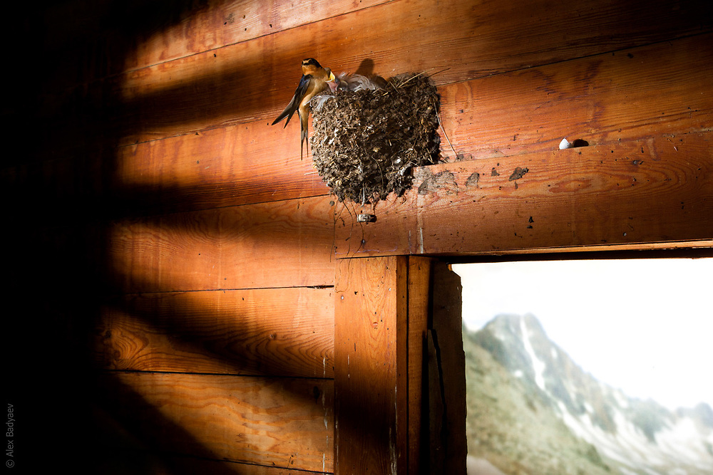 ROOM WITH A VIEW | Family of barn swallows (Hirundo rustica) in an abandoned shed in subalpine of Absaroka Mountain Range, Montana.