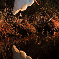 A great egret (Ardea alba) is reflected at sunrise in the dark waters of Chincoteague National Wildlife Refuge, Virginia.