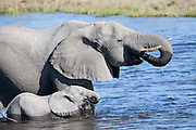 Elephant mother and calf drinking, Savuti Channel
