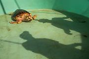 Loggerhead turtle (Caretta caretta) rehabilitation at Loggerhead Marinelife Centre in Florida, USA