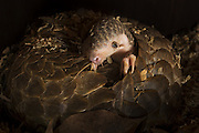 Chinese pangolin <br /> Manis pentadactyla<br /> Two-month-old baby climbing on mother. Mother was rescued from poachers and is now part of Taipei Zoo's captive breeding program. <br /> Taipei Zoo, Taipei, Taiwan<br /> *Captive