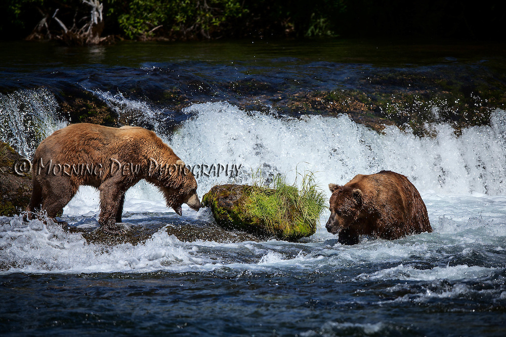 A hungry brown bear aproaches a dominate female in hopes of being allowed to fish in Brooks Falls.