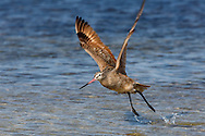 Marbled godwit springs into flight from shallow seawater, © 2014 David A. Ponton