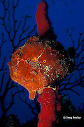 longlure frogfish or anglerfish, Antennarius multiocellatus, on red rope sponge, Dominica ( Caribbean Sea )