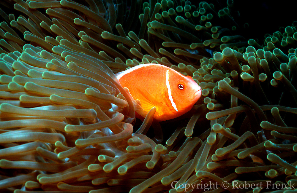 UNDERWATER MARINE LIFE WEST PACIFIC, generic FISH: skunk clownfish Amphiprion perideraion