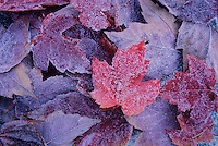 Frosty maple leaves in autumn.