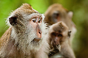 Apr. 21 - UBUD, BALI, INDONESIA: Long tail macaques in the Monkey Forest in Ubud, Bali. Hundreds of long-tailed macaques (Macaca fascicuiaris) live in the forest, which is also the site of several Hindu temples and is sacred in Bali society.  Photo by Jack Kurtz/ZUMA Press