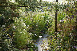 Cosmos bipinnatus 'Purity', phlox and Cornus controversa 'Variegata' at Glebe Cottage