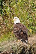 USA, Katmai National Park (AK).Bald eagle (Haliaeetus leucocephalus)