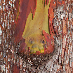 Madrona (Arbutus menziesii) Bark Detail, Stuart Island, Washington, US
