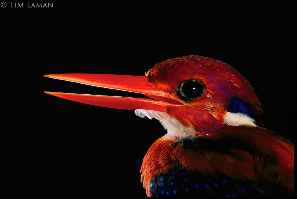A close view of the head of a Philippine dwarf kingfisher (Ceyx melanurus)..Northern Sierra Madre National Park, Philippines.