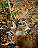 Testosterone Buck. Image taken with a Fuji X-H1 camera and 200 mm f/2 OIS lens + 1.4x teleconverter