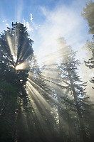 Sun rays cutting through fog in a Coastal Redwoods (Sequoia sempervirens) forest, Lady Bird Johnson Grove, Redwoods National Park, California