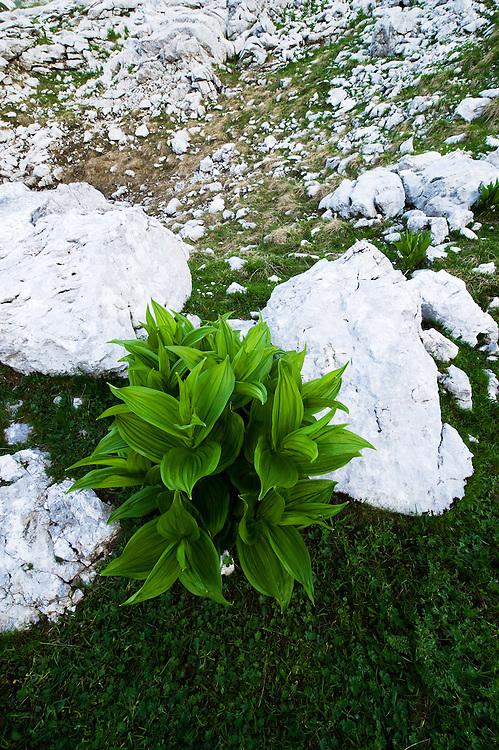 False hellebores (Veratrum sp.)<br /> Julian Alps<br /> Triglav National Park, Slovenia<br /> July 2009