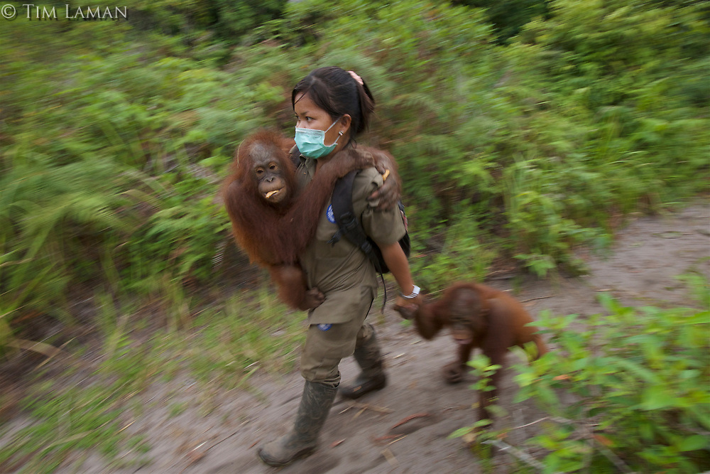 A keeper at IAR walks with a group of juvenile orangutans <br /><br /><br />International Animal Rescue (IAR)<br />Ketapang<br />West Kalimantan Province<br />Island of Borneo<br />Indonesia