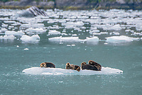 Sea Otters on ice in Tarr Inlet in Glacier Bay National Park, Alaska.