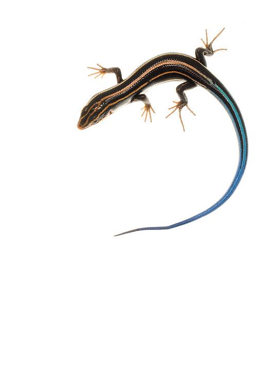 Five-lined Skink (Eumeces fasciatus)