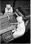 09/08/1962<br /> 08/09/1962<br /> 09 August 1961<br /> Bolands Bakery feature, interiors of Bolands factory, Grand Canal Street, Dublin. Image seems to show sorting of raisons.