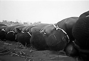 IPLM0001 , South Africa, Venda, June 2001. Girls fall down at the appearance of some of the initiated men who will take the food to the initiates who remains hidden in the bush.
