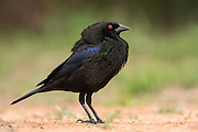 Male bronzed cowbird in courtship display
