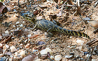 Young Yacare Caiman (Caiman yacare), Araras Ecolodge,  Mato Grosso, Brazil (Photo: Peter Llewellyn)