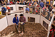Jaycee volunteer snake handlers work the western diamondback rattlesnake pit during the 51st Annual Sweetwater Texas Rattlesnake Round-Up March 13, 2009 in Sweetwater, Texas. During the three-day event approximately 240,000 pounds of rattlesnake will be collected, milked and served to support charity.