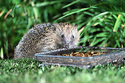 A hedgehog helps itself to mealworms left out in the garden for birds on Wednesday 20 June 2018.