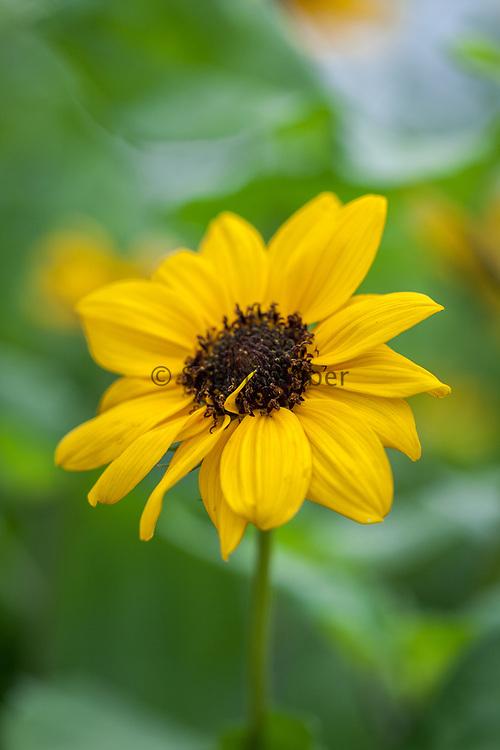 Helianthus debilis 'Sunny Babe' - cucumberleaf sunflower