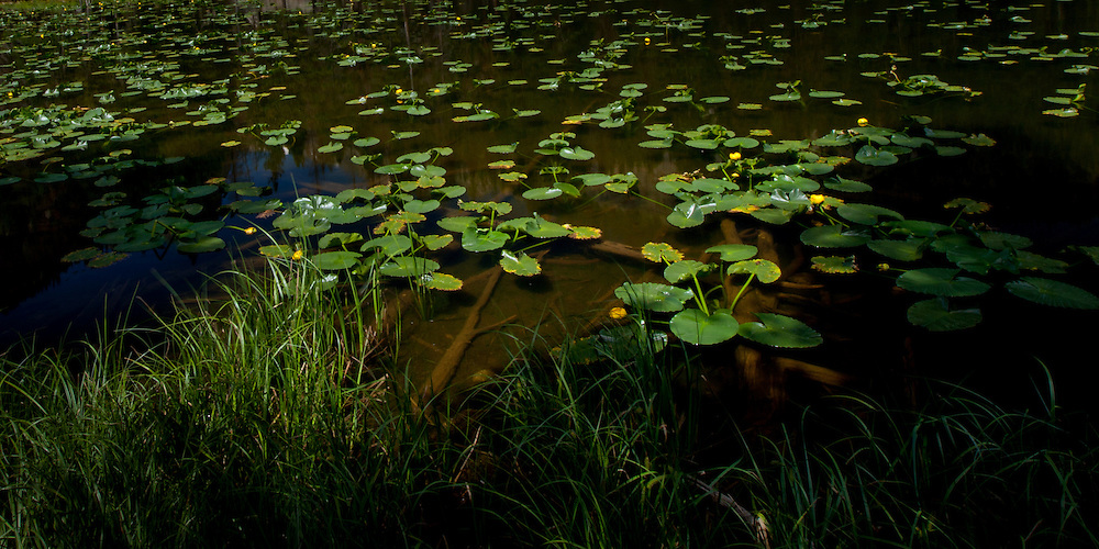 Waterlilies on Nymph Lake in Rocky Mountain National Park