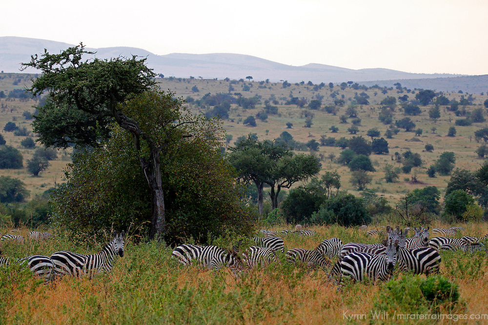 Africa, Kenya, Masai Mara. Grazing zebra herd in the Mara.