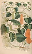 16th century, watercolor, hand painted woodcutting print of a Squash (Cucurbita) plant from Leonhart Fuchs book of herbs: De Historia Stirpium Commentarii Insignes Published in Basel in 1542 The original manuscript this image is taken from shows signs of water damage