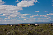 horses in sage country