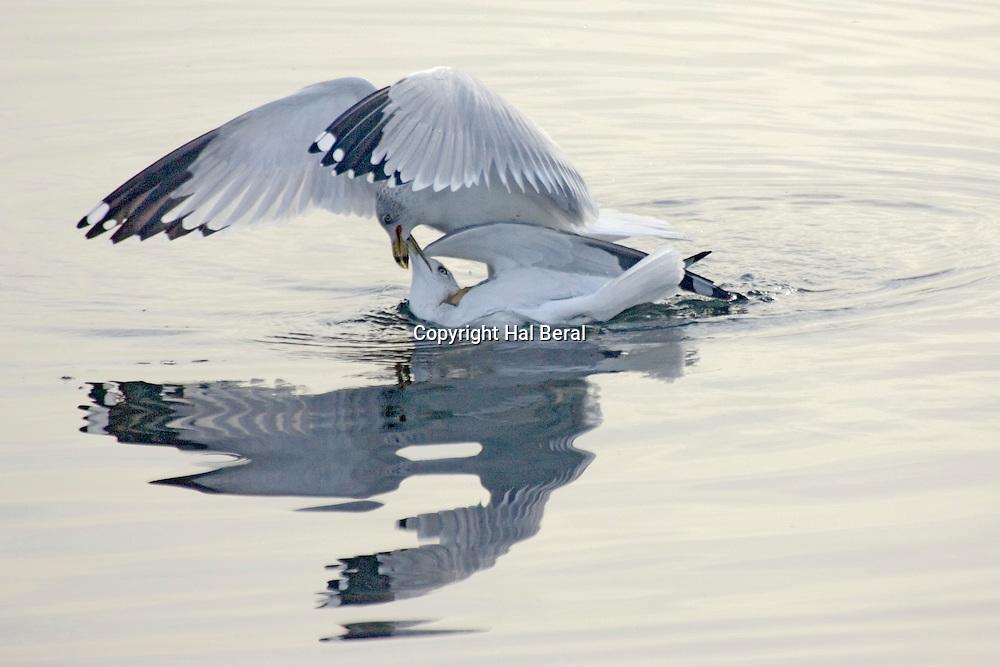 Ring-billed Gulls mating.(Larus delawarensis).Bolsa Chica Wetlands, California