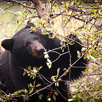 A bear feeding upon black berries in Grand Teton National Park.