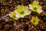 Dogwood - Cornus sp . Flower