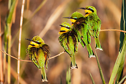 On a cool winter morning, little bee eaters (Merops pusillus) huddle together on a papyrus branch in the morning sun to get warm, Okavango Delta, Botswana, Africa