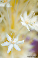 Beargrass flowers closeup