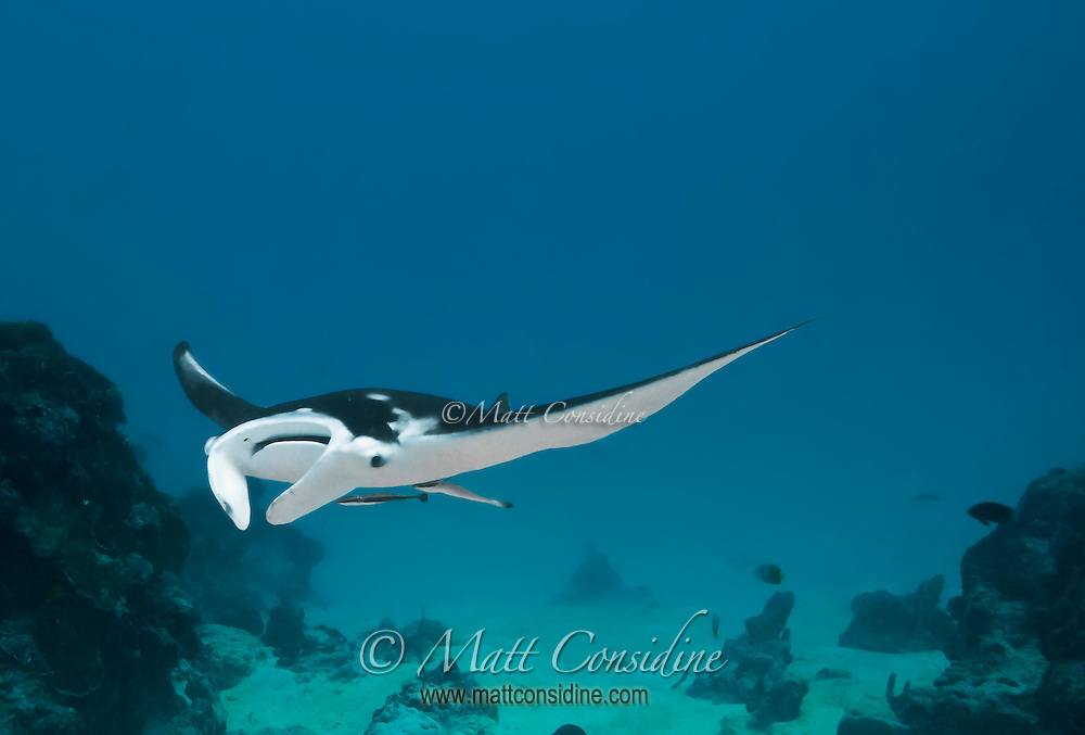 Manta ray swooping into cleaning station.  The manta rays repeatedly return to the same rock and coral outcrops to be cleaned of parasites by small cleaner wrasse, Palau Micronesia. (Photo by Matt Considine - Images of Asia Collection)