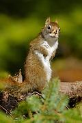 Red Squirrel, Bass Harbor, Maine