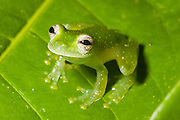 Glass frog, Osa Peninsula, Costa Rica.