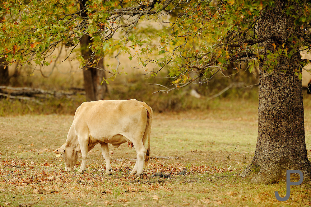 The 2011 summer drought in Oklahoma has left the grass thin and cows searching for food.