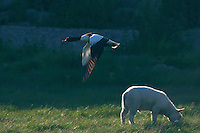 Shelduck (Tadorna tadorna), Texel, the Netherlands